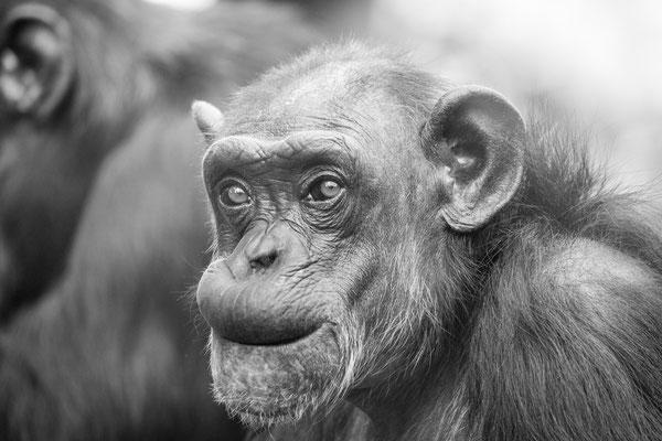 Schimpanse 'Katche' | Zoologischer Stadtgarten Karlsruhe | Foto Astrid Hansen