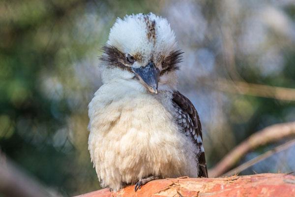 Vogel im begehbaren Australiengehege  | Zoologischer Stadtgarten Karlsruhe | Foto Astrid Hansen
