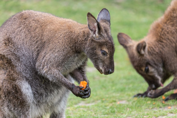 Känguru | Zoologischer Stadtgarten Karlsruhe | Foto Astrid Hansen