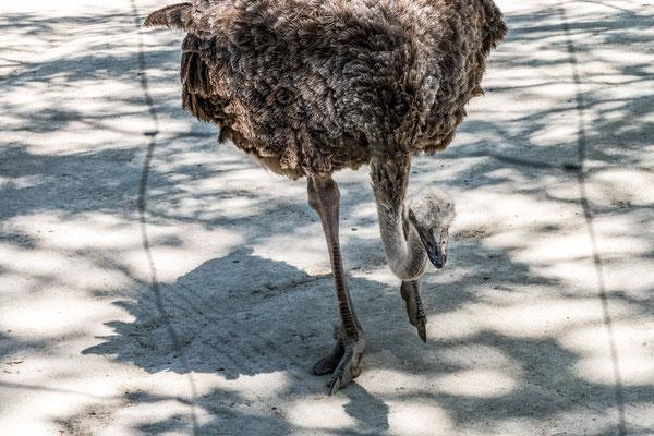 Südafrikanischer Blauhalsstrauß  | Zoologischer Stadtgarten Karlsruhe | Foto Astrid Hansen