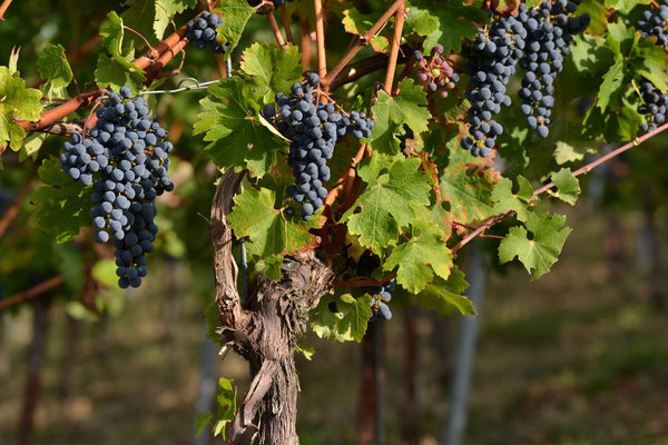 Cabernet Sauvignon kurz vor der Weinlese | Pfaffenweiler