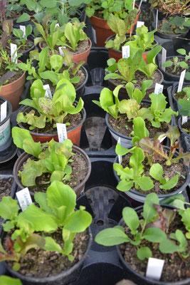 Salatpflanzerl
