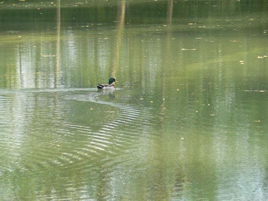 L'hôte de la maison de l'étang : le petit canard