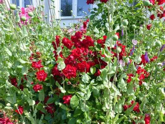 Üppiger Mohn und Rosen im Beet