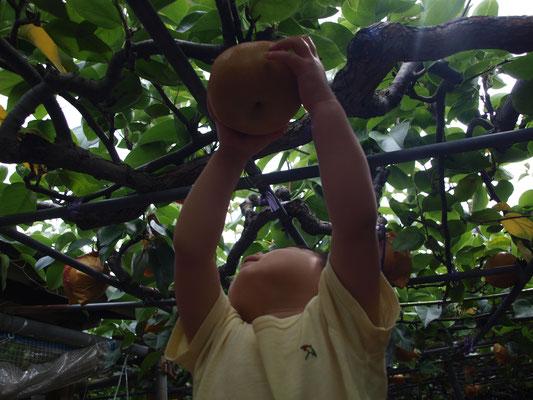 梨を取る子ども