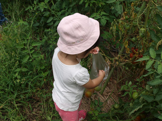 畑でトマトの収穫する帽子をかぶった子ども