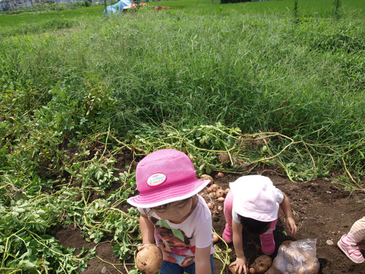 畑でじゃかいもをほる、二人の帽子をかぶった子ども