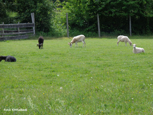Freilichtlabor Lauresham: Tierzucht