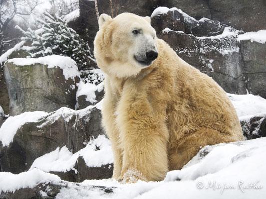 Eisbären im Tiergarten Schönbrunn