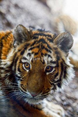 Junger Tiger in Schönbrunn