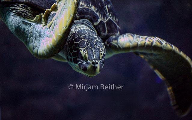 Meeresschildkröte, Haus des Meeres