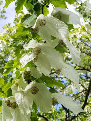 Taschentuschbaum, Trebah Garden