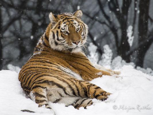Tiger im Tiergarten Schönbrunn
