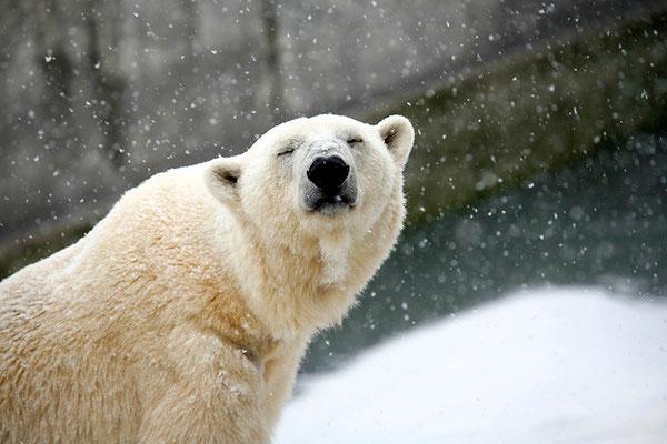 Eisbär im Tiergarten Schönbrunn