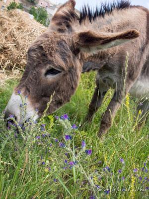 Esel, Provence