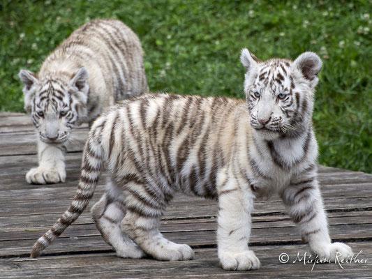Nachwuchs bei den weissen Tigern im Kameltheater in Kernhof