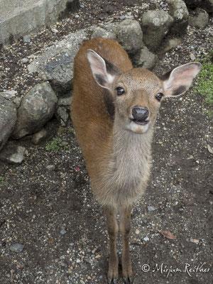 Shika Hirsch in Nara, Japan