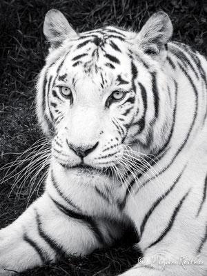 Weisse Tigerdame im Kameltheater in Kernhof