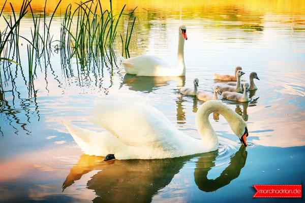 Schwan Familie mit 6 neuen Schwanenküken / Entenfang Naturschutzgebiet, 50389 Wesseling, #meinWesseling Fotograf aus Wesseling, Köln und Bonn © Marcin_Adrian www.marcinadrian.de