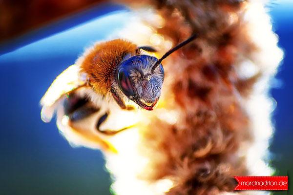Bienen, Bee Wespe Insekten Hautflügler Hymenoptera Local Guide Local_Guide LocalGuides Marcin Adrian Marcin_Adrian MarcinAdrian www.marcinadrian.de Wesseling werbekurier Stadt Wesseling Stadt Wesseling StadtWesseling Wesseling