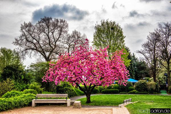 Japanische, Kirschblüte, Cherry, blossom, Sakura, Rheinpark, Marcin Adrian, Marcin_Adrian, Magdalena _Teterdynko, Magdalena Teterdynko, www.marcinadrian.de, #Japanische #Kirschblüte #Cherry_blossom #Sakura #Rheinpark #Marcin_Adrian #Wesseling