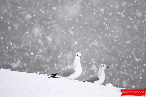 Seagull, gulls in winter on the snow and on ice, Möwe, Möwen im Winter auf Schnee und Eis in Wesseling am Rhein -  illustration by Marcin Adrian #photoshopcs6 #adobe #photoshop #Illustration
