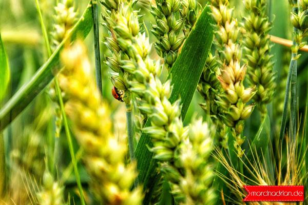 weizen pszenica wheat naturelover nature naturelovers naturefood field focusonforeground green landscape closeup wheather Wesseling outdoor outdoors landscapelover land beautynature farm farmlife marcin_adrian marcinadrian #weizen #pszenica #wheat #nature