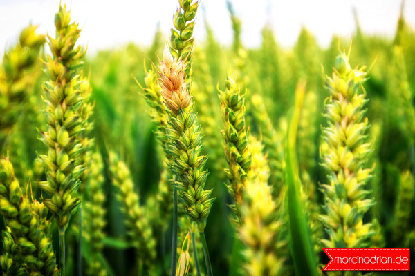 weizen pszenica wheat naturelover nature naturelovers naturefood field focusonforeground green landscape closeup wheather Wesseling outdoor outdoors landscapelover land beautynature farm farmlife marcin_adrian marcinadrian #weizen #pszenica #wheat #nature