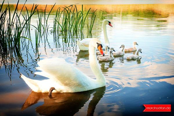 Schwan Familie mit 6 neuen Schwanenküken / Entenfang Naturschutzgebiet, 50389 Wesseling, #meinWesseling Fotograf Wesseling, Köln und Bonn © Marcin_Adrian www.marcinadrian.de