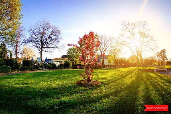 Neues Kirschblütenbaum im Rhenpark Wesseling, Rheinkilometer 669 #meinwesseling, Fotograf Wesseling © Marcin_Adrian https://www.marcinadrian.de