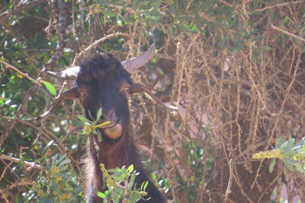 Ziege (Capra aegagrus hircus)