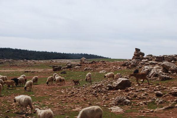 Landschaft mit roten Felsen (und Schafen)