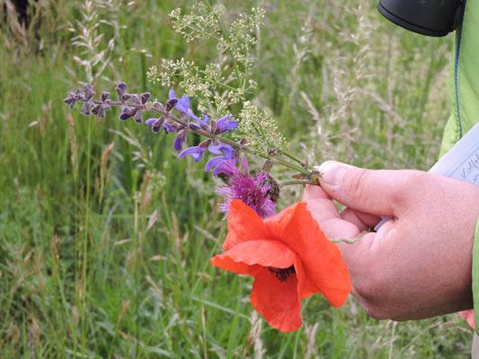 Schon am Damm zeigt er uns Klatschmohn, Flockenblume, Wiesensalbei und Labkraut