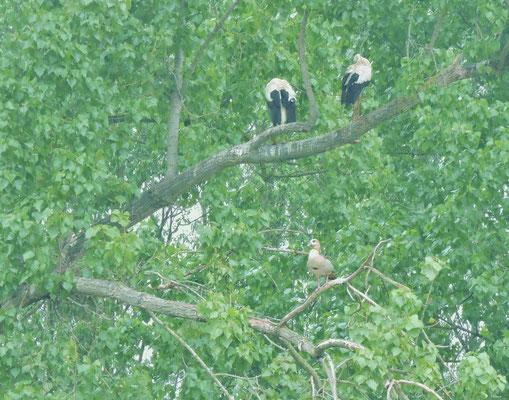 Hier im Baum in Begleitung einer Nilgans