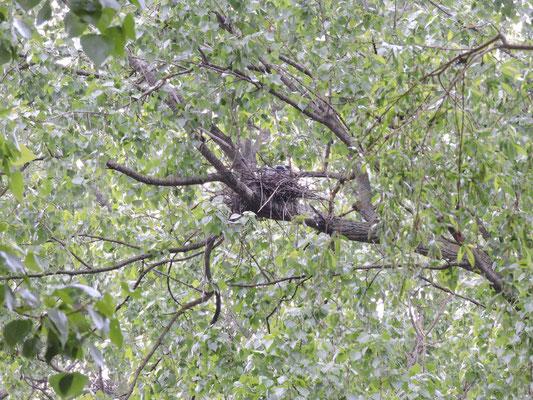 Auch Reiher lieben den Pappelwald