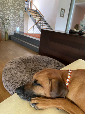 Mila entspannt mit ihrem EMK Halsband