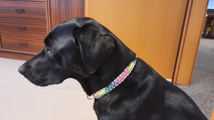 Labradorhündin Muppet mit ihrem neuen Halsband Typ Cross