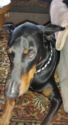 Dobi-Rüde Zeus und sein neues EM-Keramik Halsband