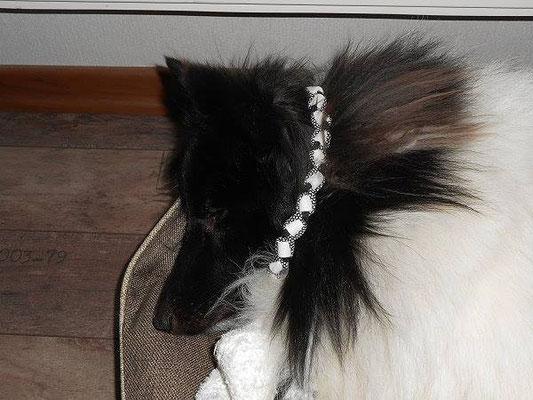 beim Schönheitsschlaf gestört.... Emil und sein neues EM-Keramik Halsband