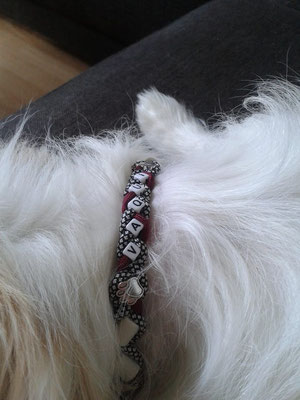 Vaqui mit seinem EMK Halsband