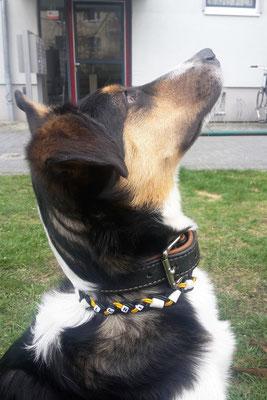 Leni mit ihrem neuen EM-Keramik Halsband aus Leder in schwarz/gelb