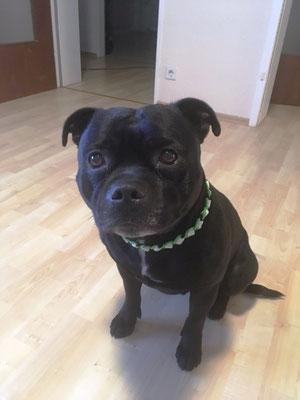 Bo mit seinem neuen EMK Halsband