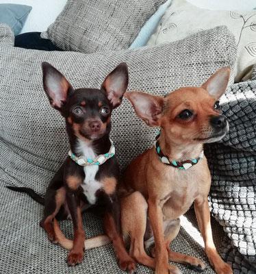 auch ein kleiner Chihuahua möchte gegen Zecken geschützt sein.... hier Mina & Holy ♥