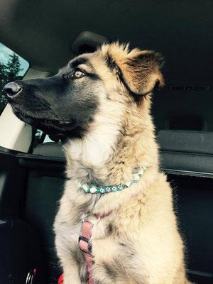 Koko mit dem neuen EMK Halsband
