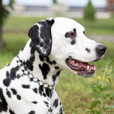 Dalmatiner-Lady Alina blickt vertrauensvoll in die Zeckensaison... denn sie trägt ein EMK Band