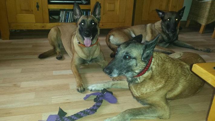 die Mädels von Jette mit ihren neuen Halsbändern .. vorne Nicky und geradezu Raven