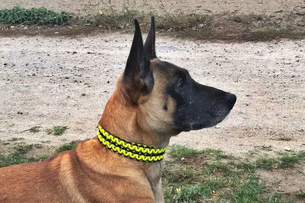 Viper vom Further Moor mit ihrem neuen Halsband Typ Twin Dot