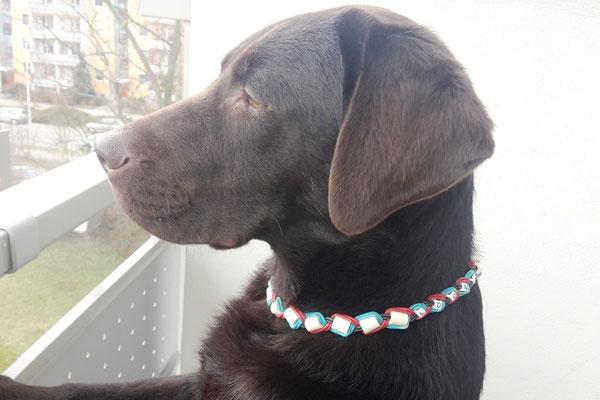 Loona mit ihrem neuem EM-Keramik Halsband aus Leder in türkis/weinrot/schwarz