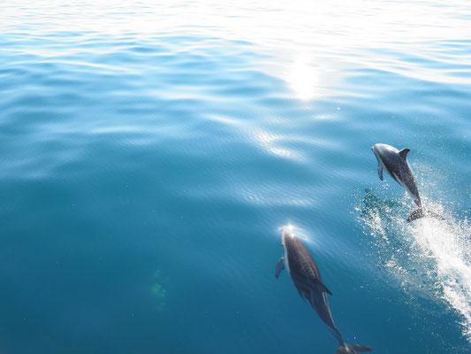 Kaikoura - Schwimmen mit Dusky Delphinen