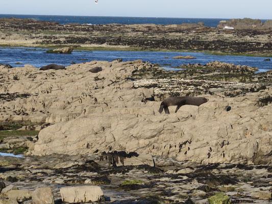 Kaikoura - Seehund Kolonie